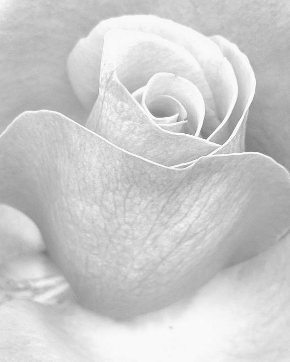 Rose Detail B/W 3 - Matthew Proschold