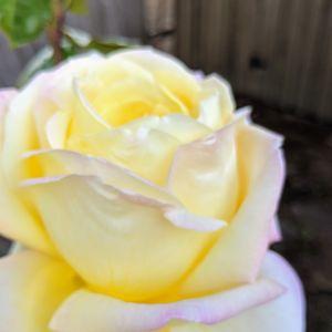 Rose Detail Color 1