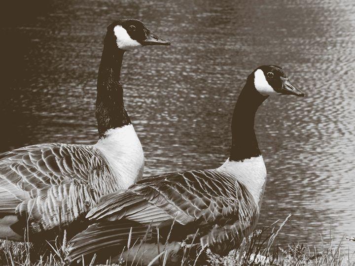 Canada geese tonal. - Nel Designs