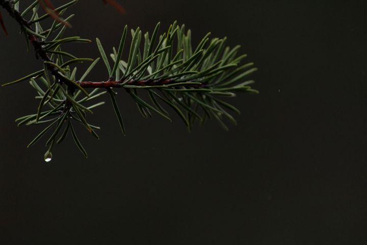 Pine Needles - Gustavo B Photography