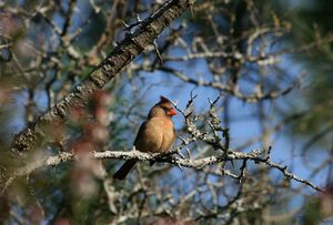 Red Female Cardinal