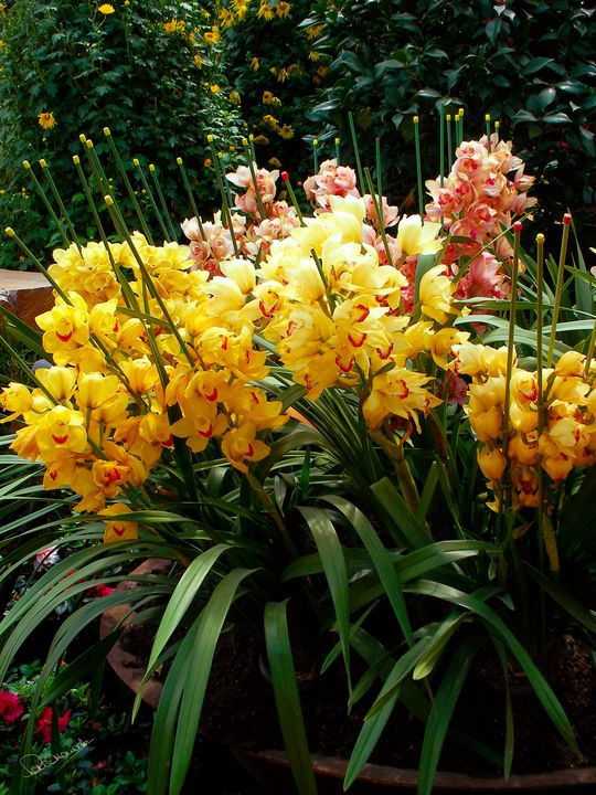 Yellow Orchid Cluster - Shadow and Form
