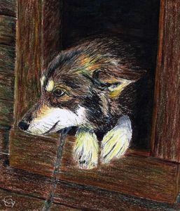 Alaskan Husky in his kennel