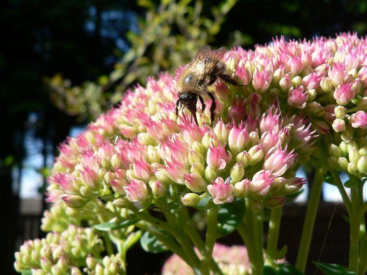 Hungry bee - Carolyn H Jeffery