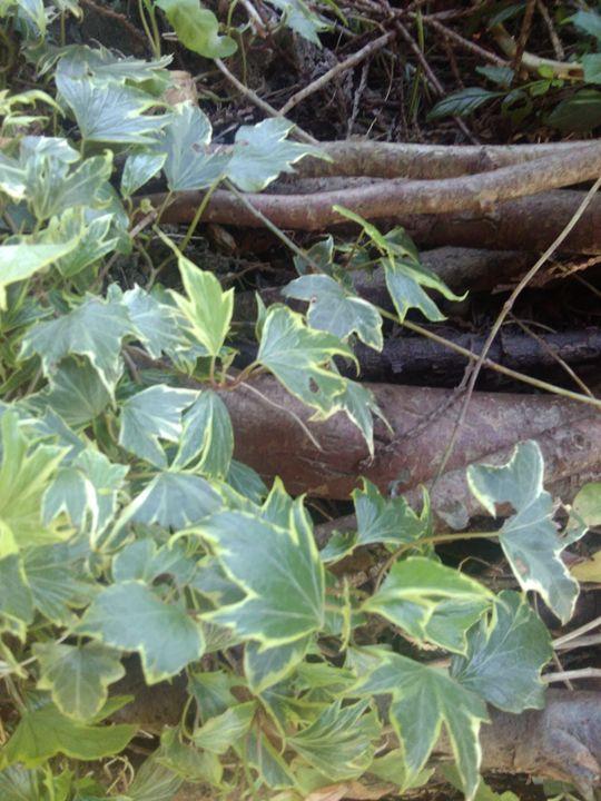 woodland ivy - Carolyn H Jeffery