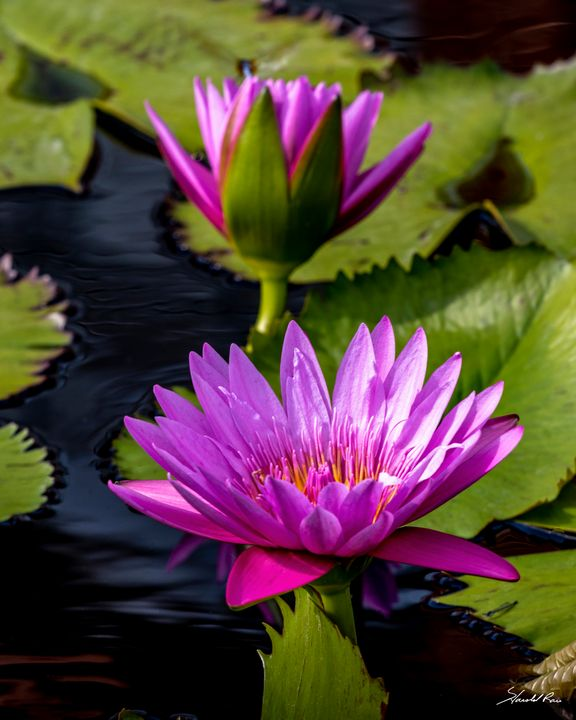 Water Lily Group - Harold Rau - Photographic Artist