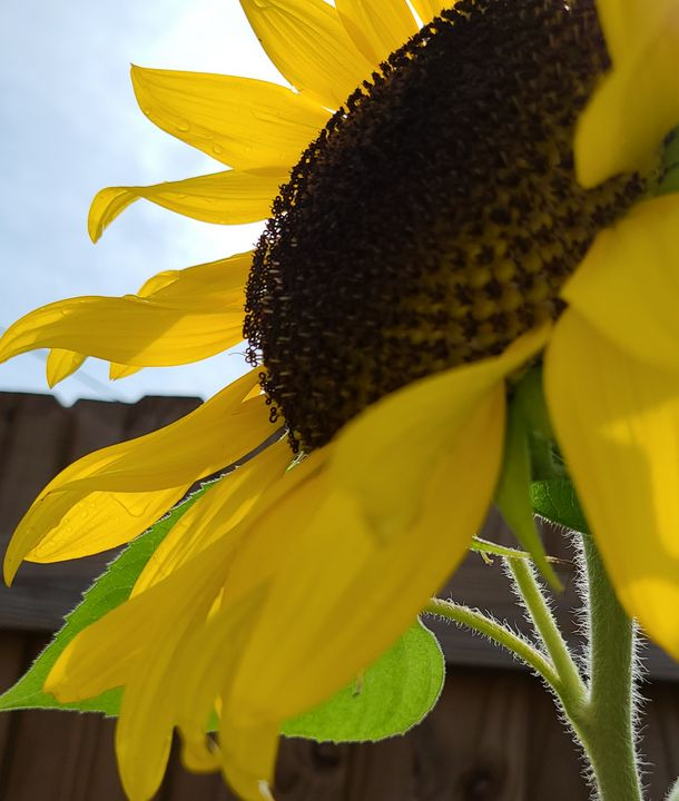 Sunny Sunflower - KASparks
