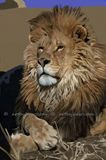 Lion Limited Edition Print