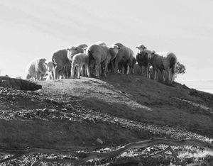 Sheep on the dam
