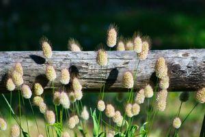 Fluffy grass,