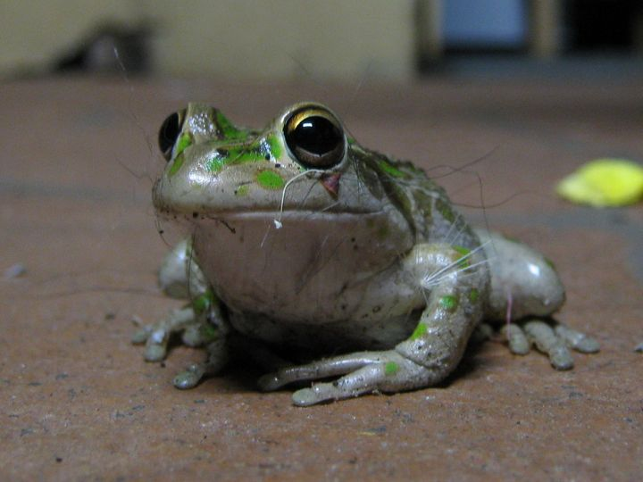 Housekeeping frog collecting bits. - Adbetron