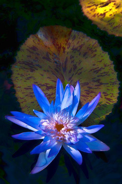 Blue Water Lily - Lou Novick