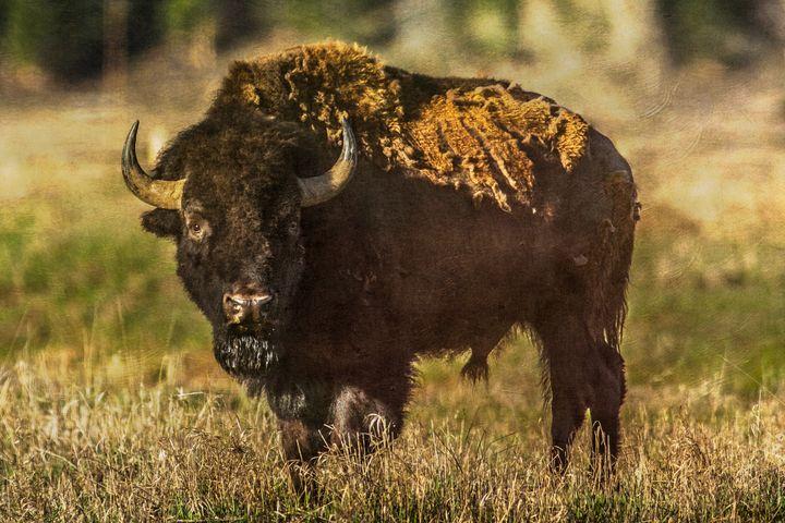 Buffalo 1 - Lou Novick