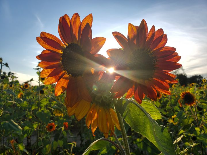 Sunflowers - Katheryn's Photography