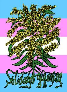 Solidago Gigantea - Trans Pride