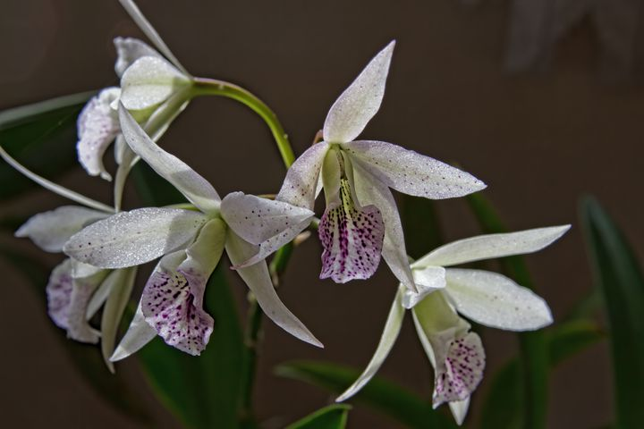 BC Iridum Orchid - Photography by Alana I Thrower