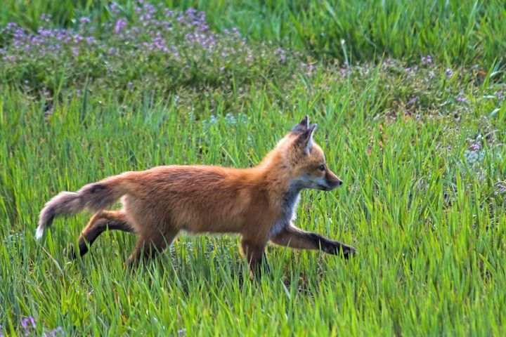 Fox Trot - Photography by Alana I Thrower
