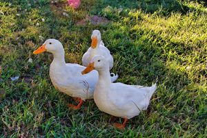 Peking Ducks