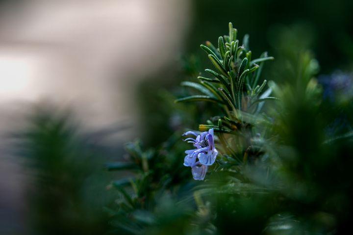 Rosemary flower - Marin Gelussi