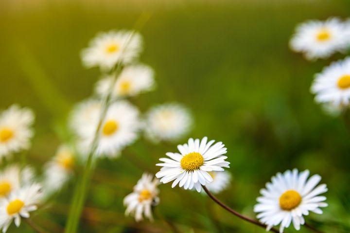 Lovely daisies - Marin Gelussi