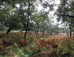 Oaks tree