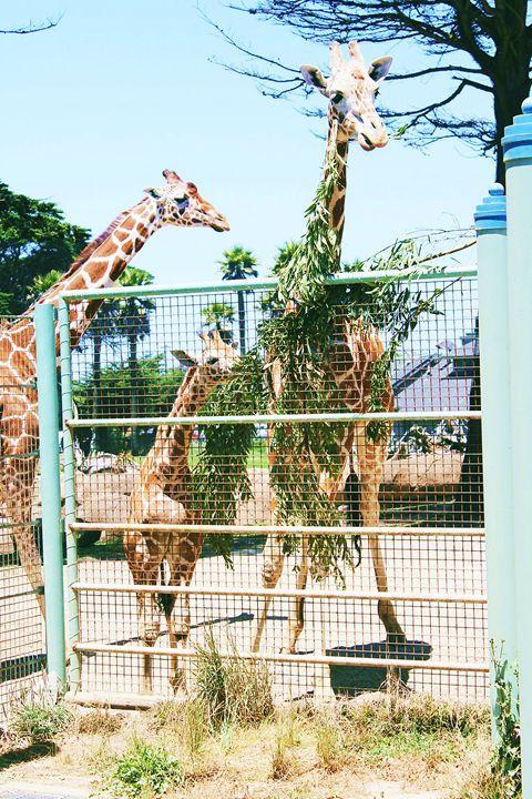 Giraffes - The Garden of Art