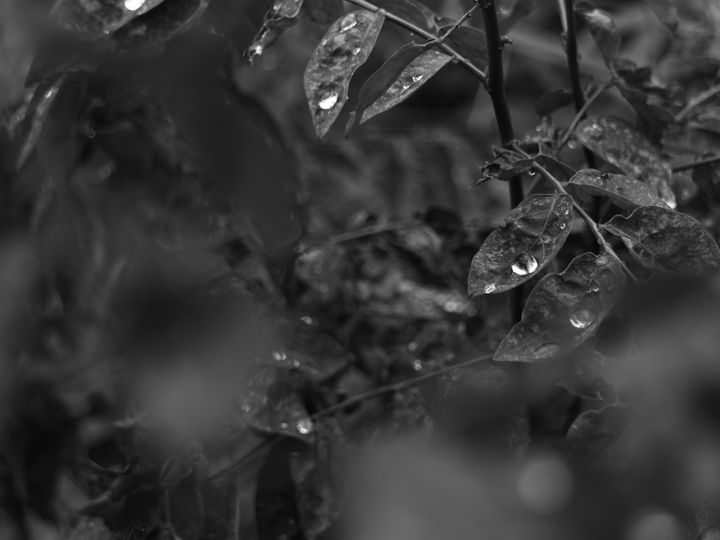 Sauropus androgynus Monochrome - JAVE