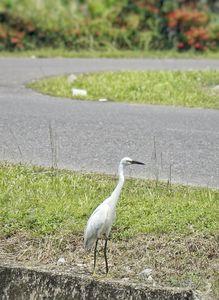 (Little Egret)Egretta garzetta