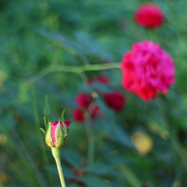 Pink rose bud - JAVE