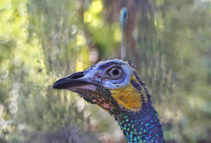 Green Peafowl - JAVE