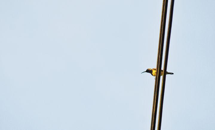 Olive backed sunbird - JAVE