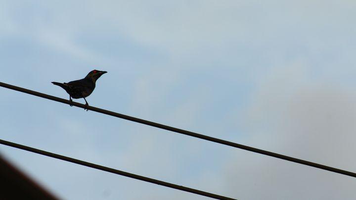 Starling staring at the sun. - JAVE