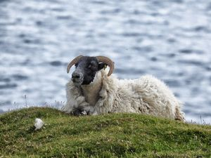 Sheep on mochair