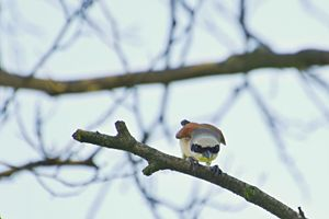 The male red-backed shrike