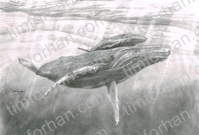 Humpback Calf Whale - Tim Forhan Art Gallery