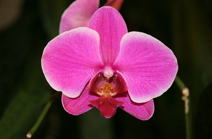 PASSION IN PINK. THE ORCHID - Tirzah Fujii