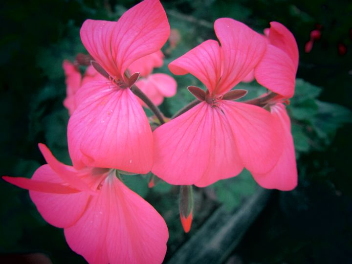 pink geraniums - Art of Zelda