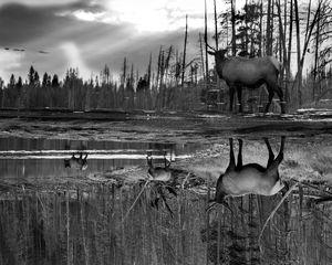 Carrington Elk