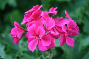 Vibrant Pink Flowers