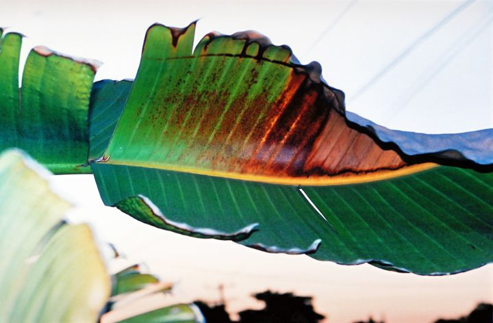 A Leaf - Yao Li