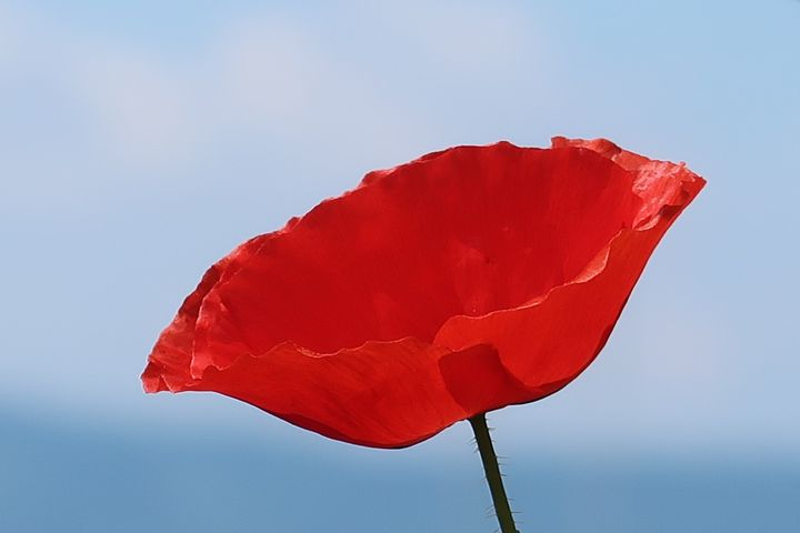 Red Poppy - Tina