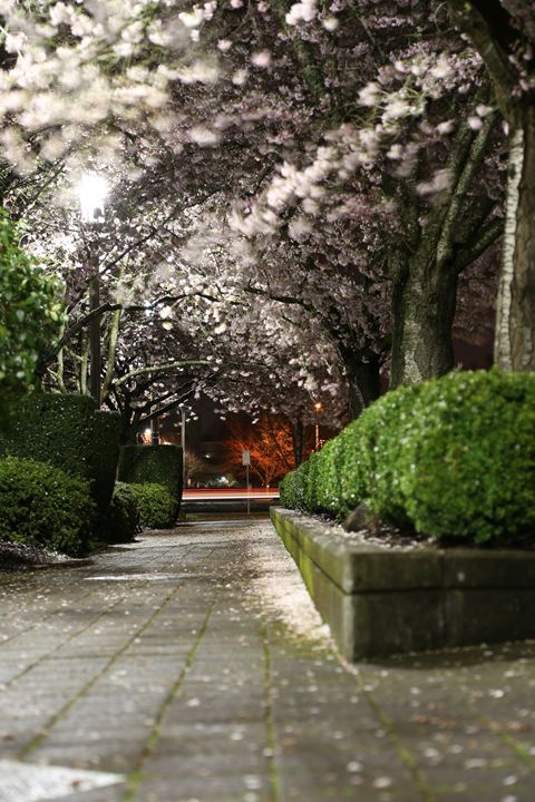 Salem Cherry Blossoms - Jdeckphoto