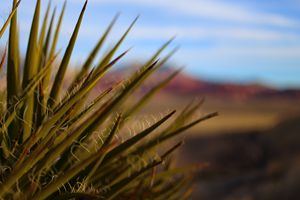 Yucca in the Red Rocks