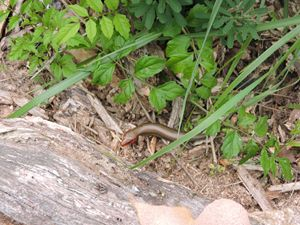 Lizard hiding in the shurbs