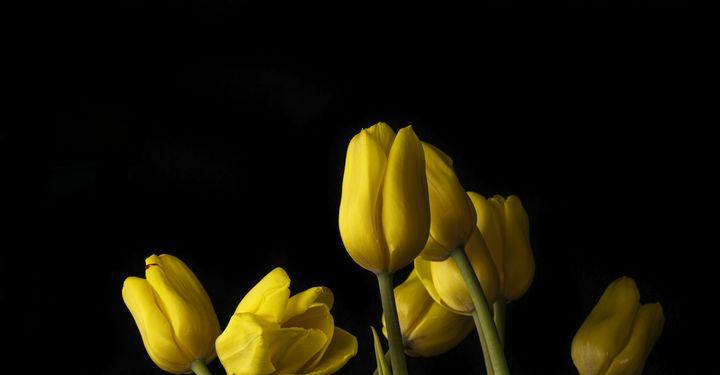 Dancing Yellow Tulips - KayhanArt