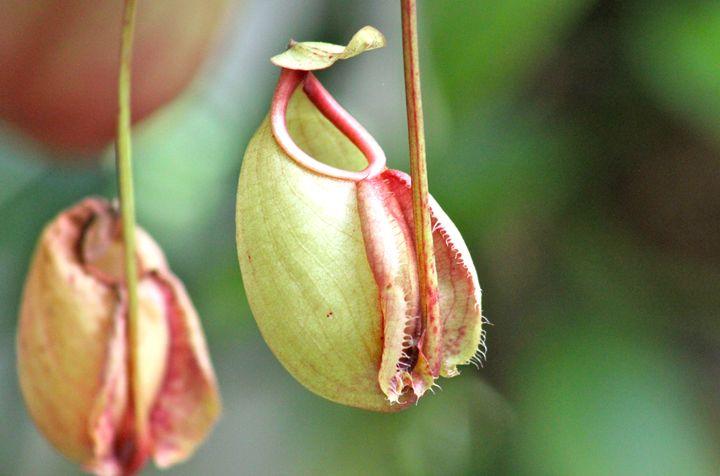 Pitcher Plant - Phuket, Thailand - CJN - Art & Photography