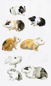 Guinea pig time