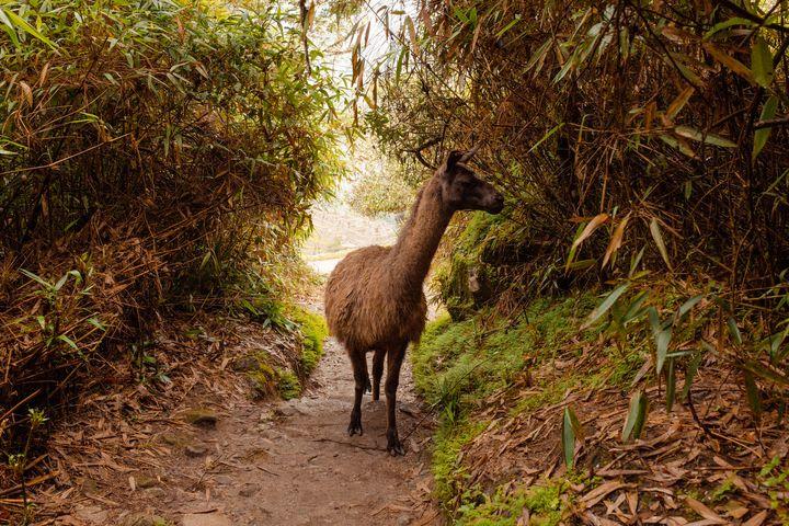 Machu Picchu Alpaca - Deidra Mckenzie Photography