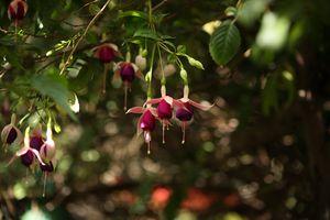 Beautiful Fuchsia's