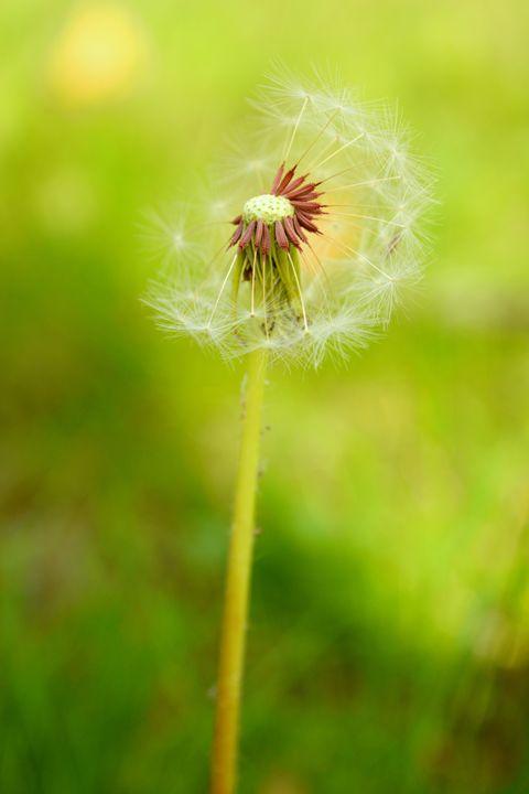Dandelion Seed Head - Gerbers Fine Art
